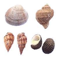 Trumpet Shell fuqi jewelry